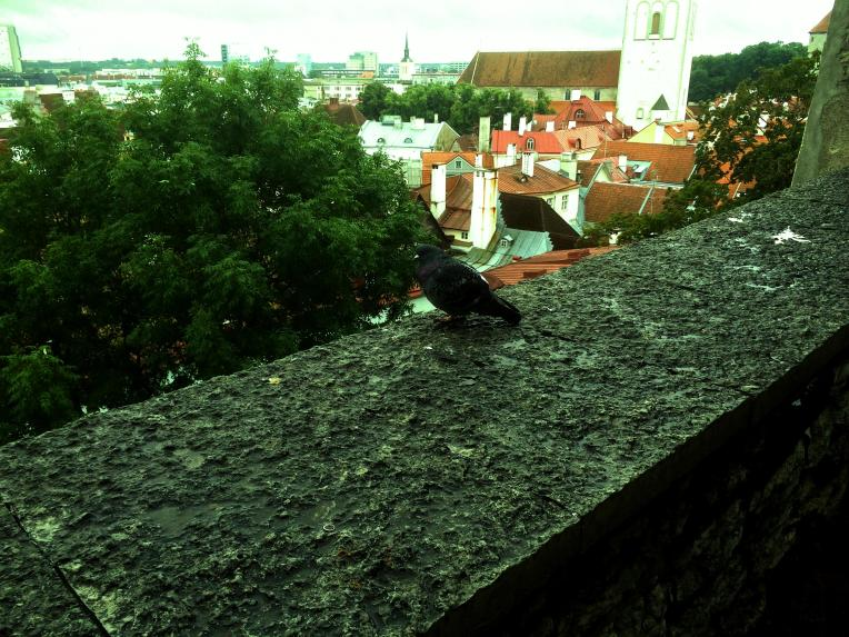 Tallinn Old Town Bird Summer Estonia