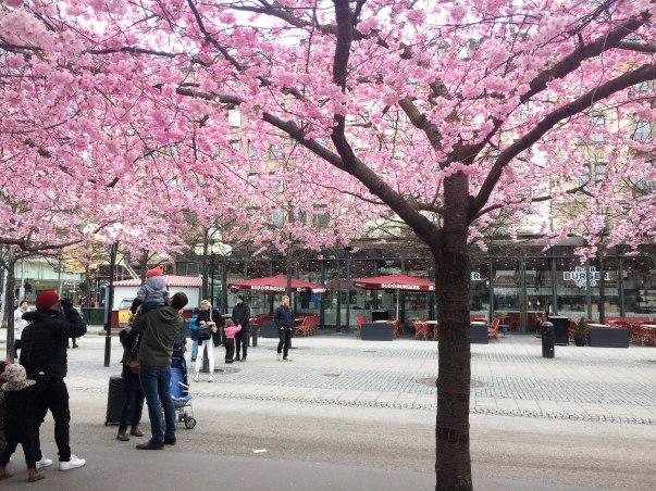 Cherry Blossom Stockholm