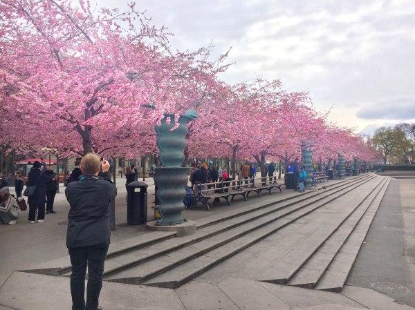 cherry_blossom_stockholm